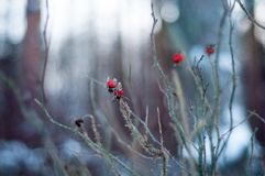 Dogrose in winter forest. Red flower. Wild rose. Snow ❄️ royalty free stock images