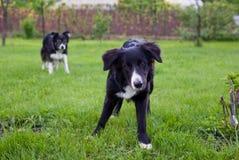 dogs ängen Royaltyfri Foto