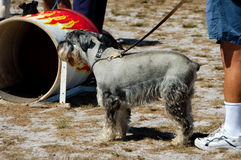 Dogs 11. At a dog agility trial Royalty Free Stock Images