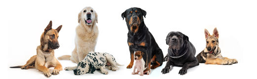 Dogs. And puppies sitting and lying down on a white background Stock Photography