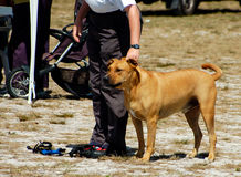 Dogs 14. At a dog agility trial Stock Photos