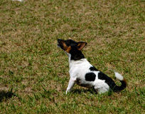 Dogs 16. A terrier at a dog agility trial Stock Photo