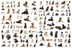 Dogs. Composite picture with purebred dogs in a white background Stock Photos