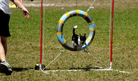 Dogs 17. A Terrier at a dog agility trial going over the tyre Stock Image