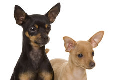 Dogs. Two small and young dogs Stock Image