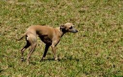Dogs 19. A Italian greyhound at a dog agility trial Stock Photos