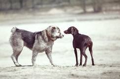 Dogs. Meeting of the Middle Asian sheepdog and Kurzhaar outdoors. Natural light Royalty Free Stock Photography