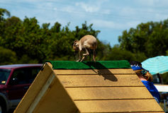Dogs 20. A Italian greyhound at a dog agility trial going over an A Frame Stock Images