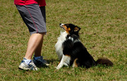 Dogs 21. A Sheltie at a dog agility trial Royalty Free Stock Photo