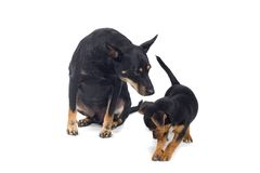 Dogs Stock Image