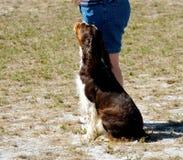 Dogs 3. A Cocker Spaniel at a dog agility trial Stock Photos