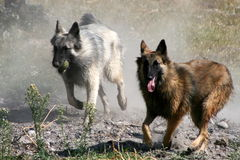 Dogs. Two tervueren dogs running with a cloud of dust Royalty Free Stock Image
