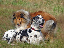 Dogs. Rough Collie and Great Dane relaxing in a meadow together Stock Photo