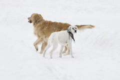 Dogs. Two dogs in the snow Stock Images