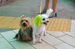 Dogs. Stylish dogs on uliche of Seoul Stock Image