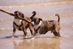 Dogs. Two dogs are returning a stick to the beach Stock Photo