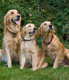 Dogs. Family of dogs sitting outside Stock Image