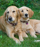Dogs. Family of dogs sitting outside Royalty Free Stock Image