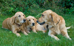 Dogs. Family of dogs sitting outside Royalty Free Stock Photos