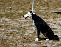 Dogs 6. Waiting at a dog agility trial Royalty Free Stock Photos