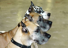 Dogs. Three great dane dogs Royalty Free Stock Photo