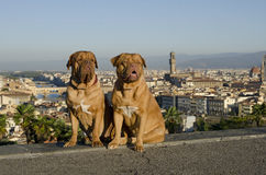 Dogs against Florence city view Royalty Free Stock Image