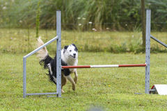 Dogs in an Agility Competition.  Royalty Free Stock Photography