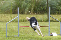 Dogs in an Agility Competition.  Stock Photography