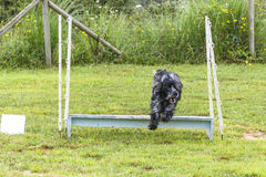 Dogs in an Agility Competition.  Royalty Free Stock Photo