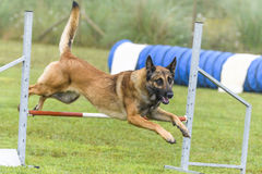 Dogs in an Agility Competition.  Royalty Free Stock Images