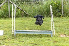 Dogs in an Agility Competition Royalty Free Stock Photos