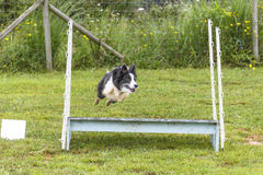 Dogs in an Agility Competition Stock Images