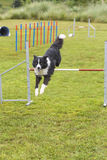 Dogs in an Agility Competition Stock Photography