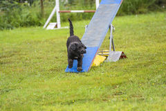 Dogs in an Agility Competition Royalty Free Stock Photo