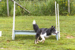 Dogs in an Agility Competition Royalty Free Stock Images