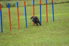 Dogs in an Agility Competition Stock Photos