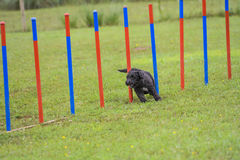Dogs in an Agility Competition Royalty Free Stock Photography