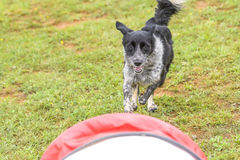 Dogs in an Agility Competition Stock Photo