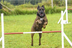 Dogs in an Agility Competition Royalty Free Stock Image