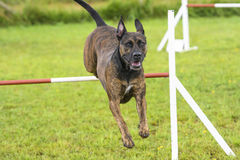 Dogs in an Agility Competition Stock Image