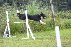 Dogs in an Agility Competition.  Stock Photos