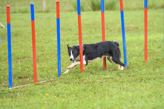 Dogs in an Agility Competition.  Stock Image