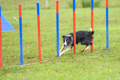 Dogs in an Agility Competition.  Royalty Free Stock Image