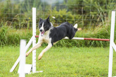 Dogs in an Agility Competition.  Stock Photo