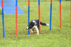 Dogs in an Agility Competition.  Stock Images
