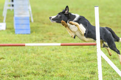 Dogs in an Agility Competition.  Royalty Free Stock Photos