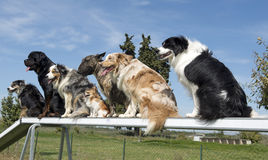 Dogs in agility. Group of dogs in a training of agility stock images