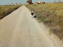 American Akita running on the road fun stock photo