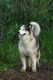 Alaskan Malamute dog in green forest. Dogs of the Alaskan malamute breed are very powerful, strong with a thick long coat Stock Image