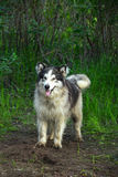 Alaskan Malamute dog in green forest. Dogs of the Alaskan malamute breed are very powerful, strong with a thick long coat Royalty Free Stock Image
